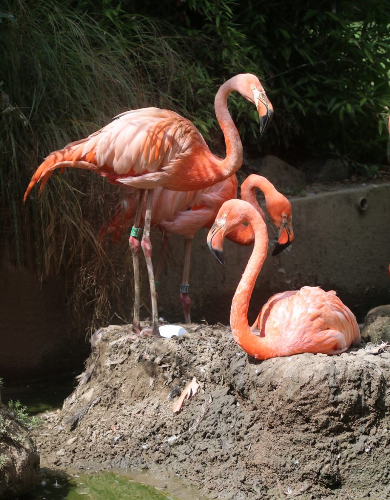 Flamingo parents with egg on nest