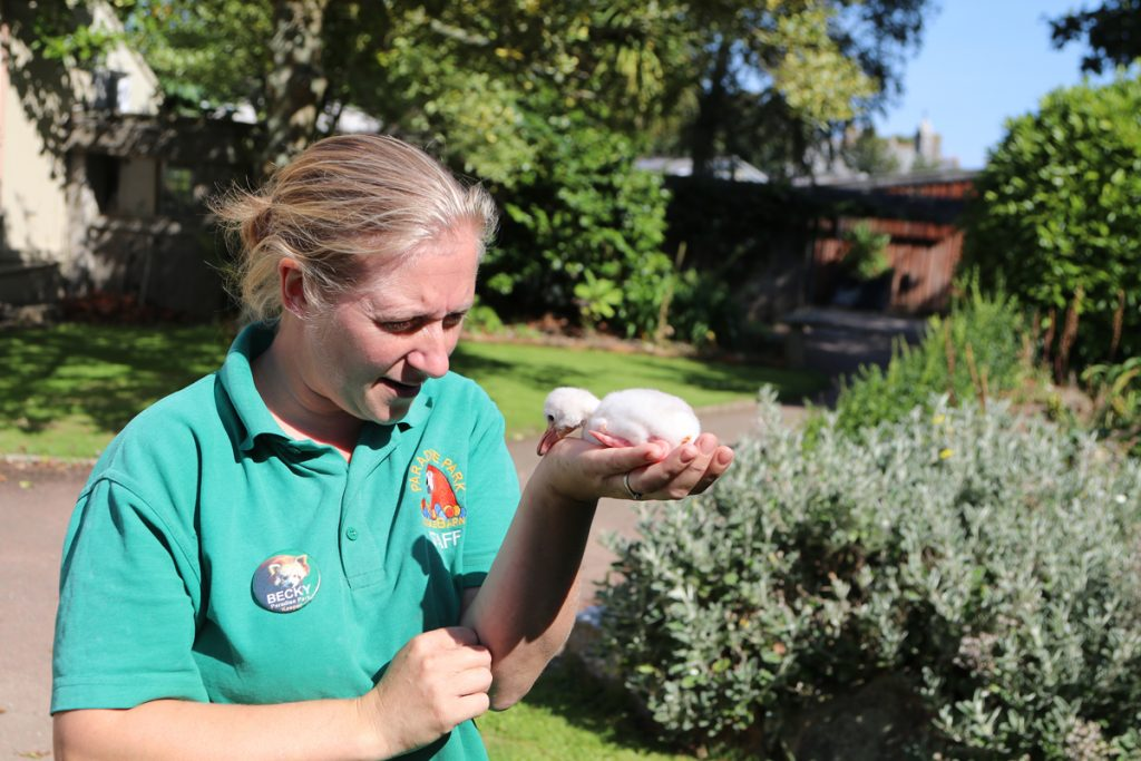 Keeper Becky taking the flamingo chcik outside for excercise