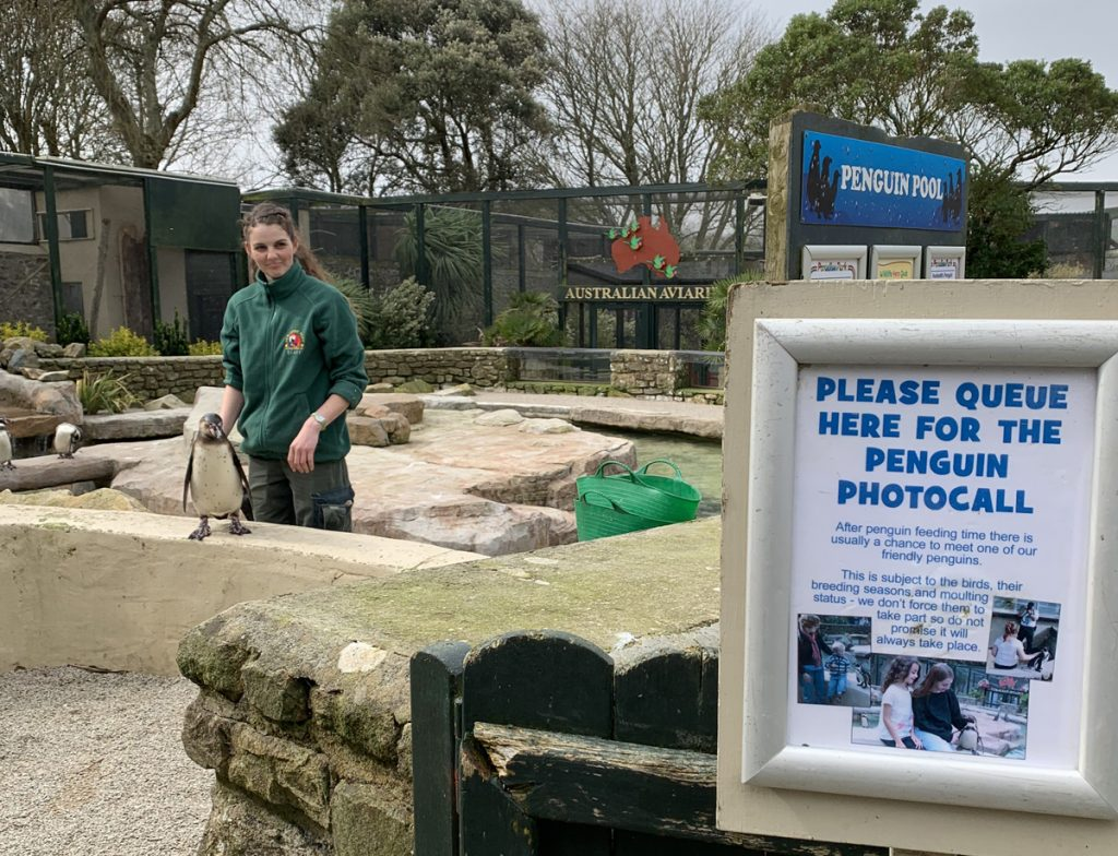 Keeper continue penguin photocall encounter routine Paradise Park Cornwall