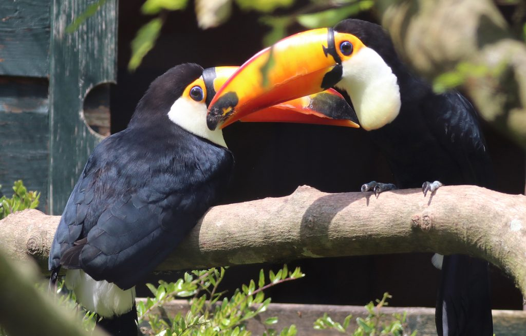 Two Toco Toucans at Paradise Park Cornwall