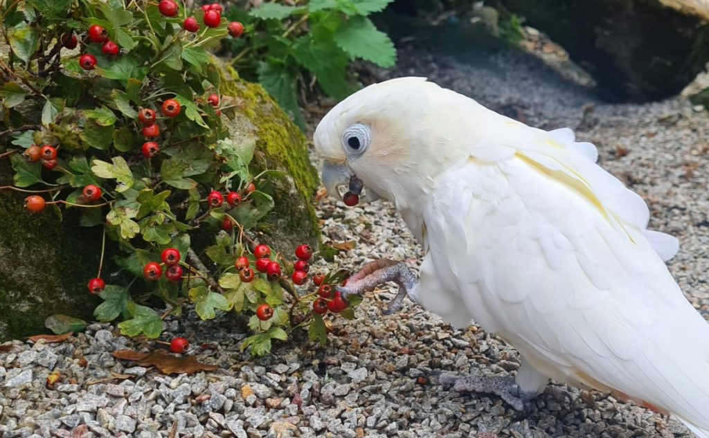 Red-vented Cockatoo at Paradise Park Cornwall