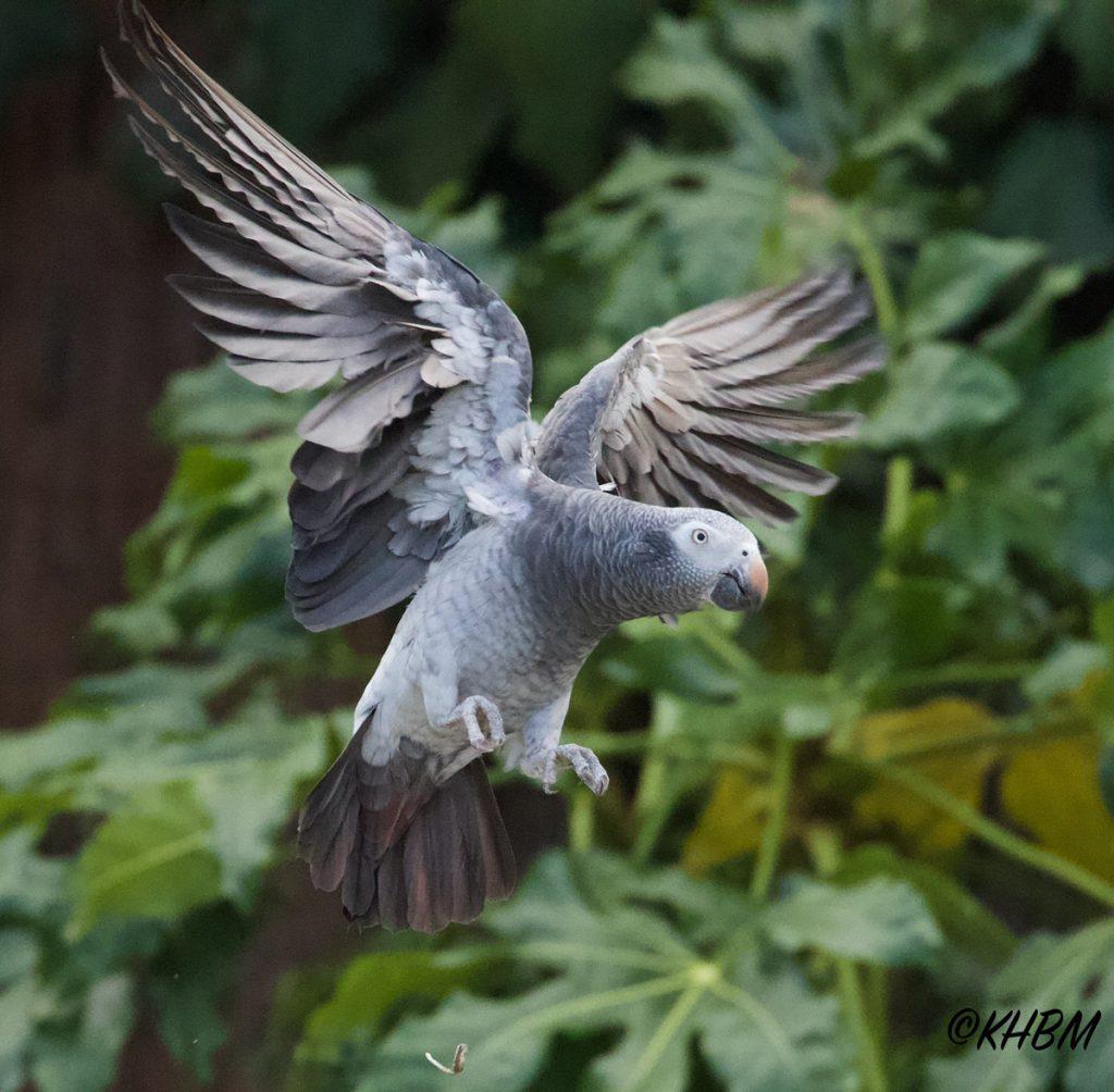Timneh Grey Parrot in flight Paradise Park