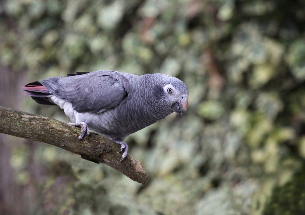 Thomas the Timneh Parrot at Paradise Park