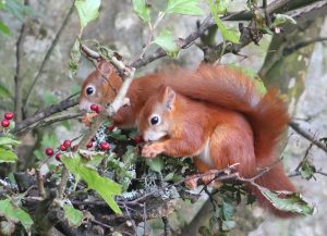 Two emerged Red Squirrel kits