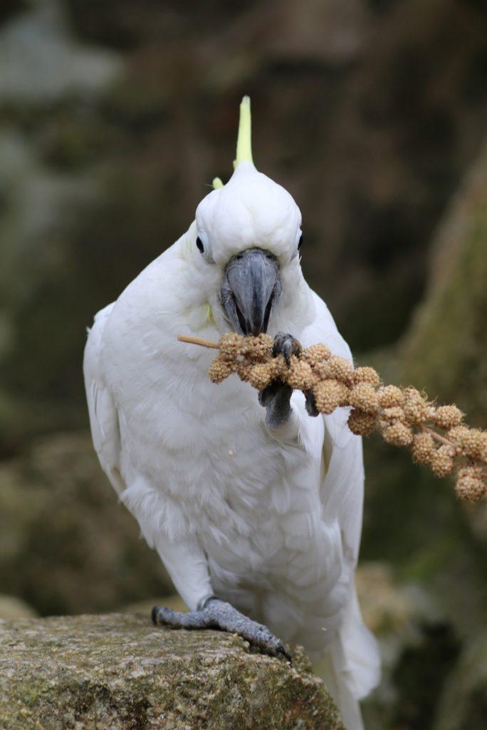 Cockatoo enjoying a millet spray