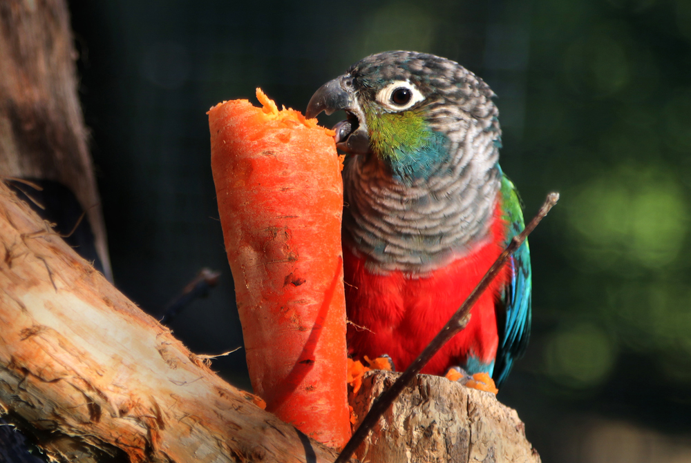Crimson-bellied Conure is loving the large carrot wedged into perching
