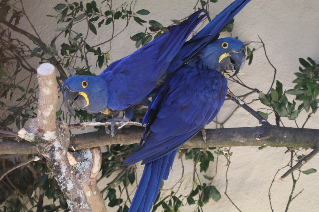 Ronnie and Caju the Hyacinth Macaws