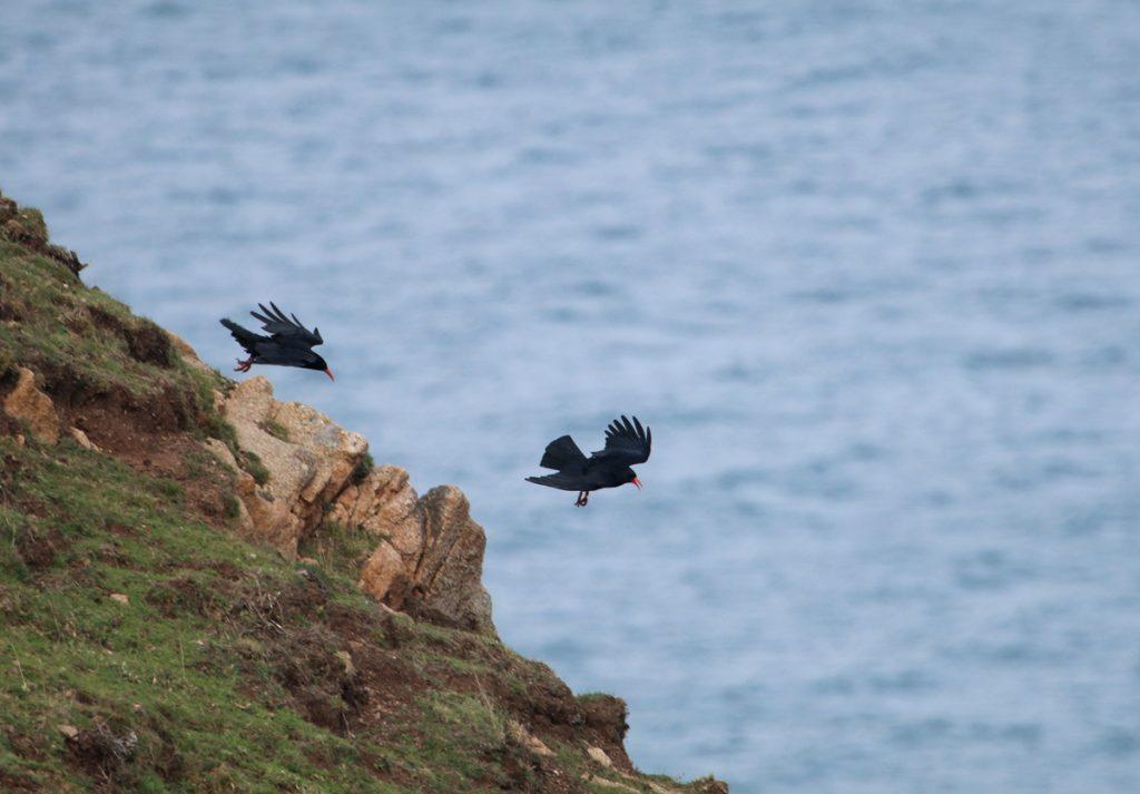 Edge of cliff Chough pair Paradise Park Cornwall