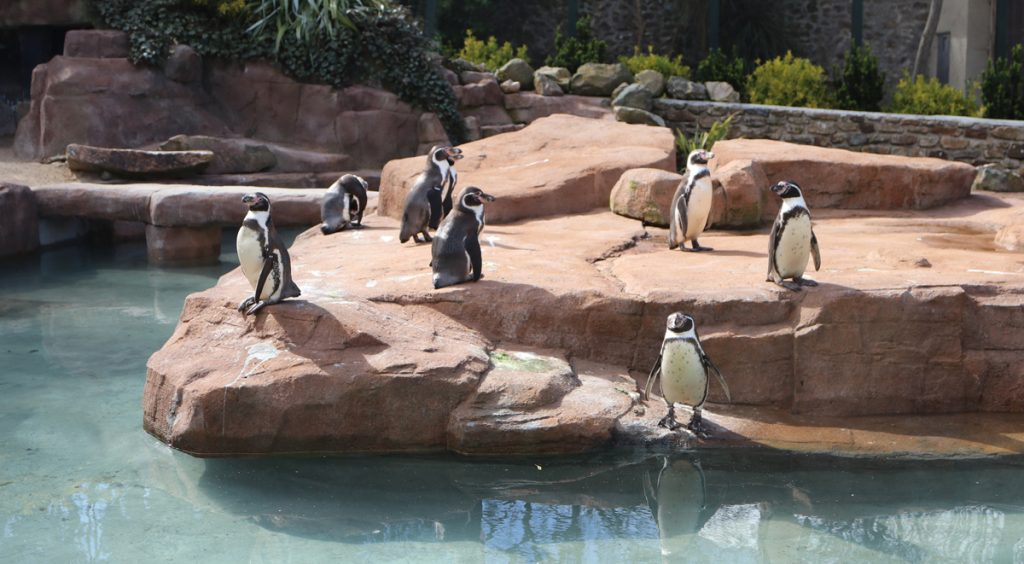 Penguin colony at Paradise Park in Cornwall