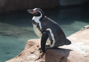 Spneb the Humboldt's Penguin at Paradise Park Cornwall